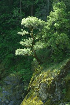 Mountain Tree...