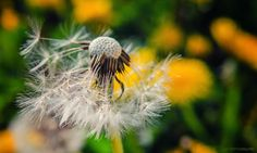 Untitled   Flickr - Photo Sharing! Photography Photos, Dandelion, Flowers, Plants, Flora, Royal Icing Flowers, Dandelions, Floral, Plant