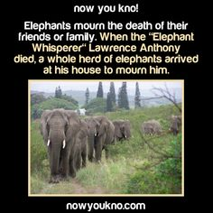"Elephants mourn the death of their friends and family. When the ""Elephant Whisperer"", Lawrence Anthony, died, a whole herd of elephants arrived at his house to mourn him"