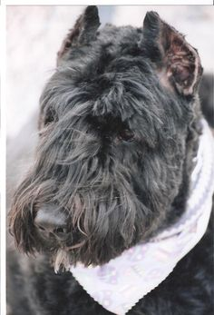 Bouvier des Flandres. Strange but reminds me of Scottie we had but also of the Aussiedoodle we now have.