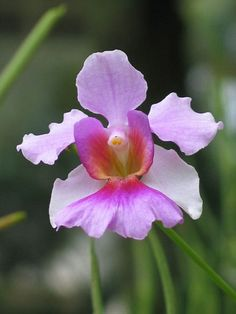 Vanda Ms Joaquim orchid