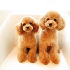 Some of the things we all admire about the Athletic Poodle Dogs Cute Little Puppies, Cute Dogs And Puppies, Pet Dogs, Dog Cat, Teacup Poodle Puppies, Toy Puppies, Small Poodle, Poodle Haircut, French Dogs