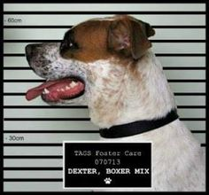 Hi there! My name is Dexter and I am a one-year-old Boxer mix. I have just been sprung from the pound as you can see from my mug shot. I still don't know how or why I ended up in the slammer but I think it was probably because of how cute I am. Adopt Dexter from The Animal Guardian Society! http://animalguardian.org