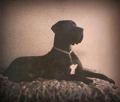 Great Dane, my Astor