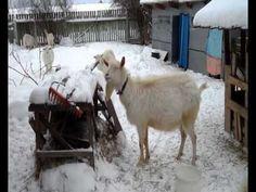 Мои Козы. Гуляем зимой.
