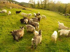 Our herd of #cashmere #goats  http://www.chianticashmere.com/RAISING-CASHMERE-GOATS/