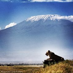 A lioness looks out across the plains of Amboseli National Park with the beautiful Mt. Kilimanjaro behind her. #lowisandleakey #guidedbyninian