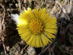Der Huflattich ist ein Frühblüher und erscheint, sobald der Schnee weggeschmolzen ist. Die Blüten kommen vor den Laubblättern zum Vorschein. Verwechseln kann man die Blätter mit denen der weißen Pestwurz, deren Unterseite weich behaart ist, die des Huflattichs sind auf Ober- und Unterseite behaart. Huflattich ist sehr anspruchslos, was den Boden betrifft, man findet ihn an unbefestigten Wegen, Böschungen und sogar auf Schotterhalden.