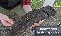 Redworms in Aquaponics