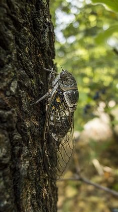Close up of a  provencal cicada