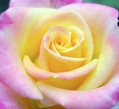 MY ABSOLUTE FAVORITE COMBINATION ROSE!!!!!  IT DEPICTS MY FAVORITE COLOR PURPLE AND MY MOMS FAVORITE COLOR YELLOW.