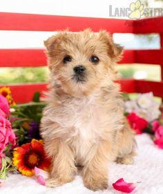 #Morkie #Charming #PinterestPuppies #PuppiesOfPinterest #Puppy #Puppies #Pups #Pup #Funloving #Sweet #PuppyLove #Cute #Cuddly #Adorable #ForTheLoveOfADog #MansBestFriend #Animals #Dog #Pet #Pets #ChildrenFriendly #PuppyandChildren #ChildandPuppy #LancasterPuppies www.LancasterPuppies.com Morkie Puppies For Sale, Lancaster Puppies, Animals Dog, Mans Best Friend, Yorkie, Puppy Love, Teddy Bear, Pets, Children
