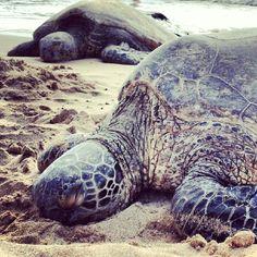 Sleeping turtles in Hawaii