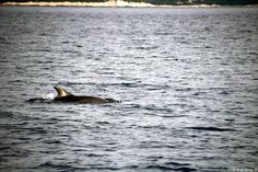 Delfinek a közelben / Adria, 2015 / Ocean Sailing SE (www.oceansailing.meder.hu) #vitorlástanfolyam #vitorlázás #vitorla #Adria