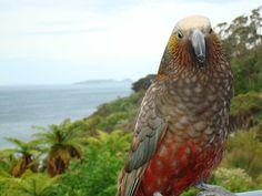 Kaka (parrot) on Stewart Island, New Zealand New Zealand Wildlife, Budgies, Parrots, Nz Art, Natural Instinct, Reptiles And Amphibians, Bird Watching, Places To See, Birds