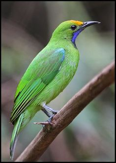 Golden-fronted Leafbird (Chloropsis aurifrons)