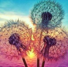 Dandelions in sunset photograph - Nature photography.