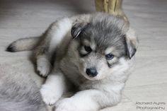 Freya. by Richard Ayres. #puppy #adorable #wolfalike