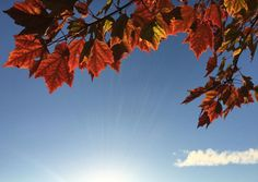 maple leaf, leaves, trees, nature, autumn, fall, sunshine, blue, sky