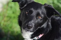 Je vous présente Gaïa, nous l'avons sorti de la spa le 28 décembre dernier.... c'est un amour de chienne qui ne demandait qu'à être aimée.... Elle aura eu la chance de ne pas rester trop longtemps dans un box ( 3 mois).... Elle a désormais un jardin qu'elle partage avec Lulu le chat et a des papouilles à volonté !