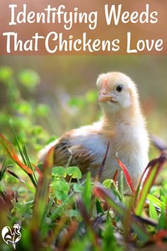 Identifying weeds for chicken feed. You want to keep weeds out of your garden but certain weeds can be used for chicken feed. Here is how to Identify weeds that are good for chicken feed. The right weeds can add free nutritious value to your flocks' diet. #raisinghappychickens #chickenfeed Herbs For Chickens, Raising Backyard Chickens, Pet Chickens, Urban Chickens, Keeping Chickens, Rabbits, Chicken Roost, Chicken Garden, Backyard Chicken Coops