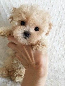 Keep Your Pooch Happy With These Dog Care Tips. >>> Visit the image link for more details. Teacup Maltipoo, Teacup Puppies, Maltipoo Puppies, Cockapoo, Pomeranian Puppy, Tiny Puppies, Cute Puppies, Poodle, Dog Care