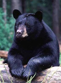 American Black Bear | Page history last edited by wikiuser0008 4 years, 5 months ago