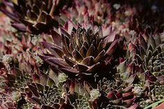 Sempervivum 'Bronze Pastel'