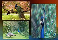 mor ke chhue bina morni garbhvati kese hoti hei ? All News, Peacock, Bird, Pets, Fun, Animals, Peacock Bird, Animais, Animales
