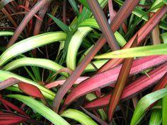 Evergreen Shrub Phormium « Summerhill Garden Centre | Essex