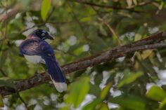 Cyanocorax affinis Carriqui pechiblanco