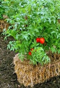 tomato growing in hay bale