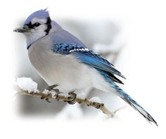 Blue Jay - provincial bird of Prince Edward Island