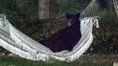 Caught on camera: Black bear kicks back in hammock http://www.ctvnews.ca/video?clipId=373709&playlistId=1.1847049&binId=1.810401&playlistPageNum=1