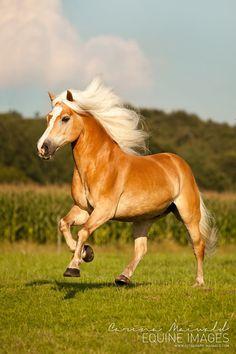 """equine-images: """" Lovely Haflinger Sir Henry   www.fotografie-maiwald.com """""""