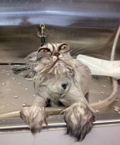 Grumpy cat, laughing, and laugh: go ahead and laugh happy souls taste better I Love Cats, Crazy Cats, Cute Cats, Funny Kitties, Adorable Kittens, Funny Animal Pictures, Funny Animals, Cute Animals, Hilarious Pictures