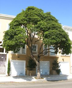 """Victorian Box Tree -- tolerates partial shade max ht 35"""", fairly drought resistant. Understory tree with Eucalyptus"""