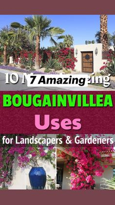 Outside Plants, Outdoor Plants, Outdoor Gardens, Garden Border Plants, Garden Borders, Bougainvillea, Container Plants, Container Gardening, Flower Gardening