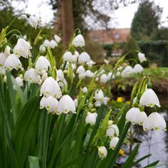 Colorful Flowers, White Flowers, Deer Resistant Flowers, Plant Order, Sandy Soil, Spring Bulbs, Fall Plants, Planting Bulbs, Bulb Flowers