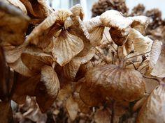 hortensia sec