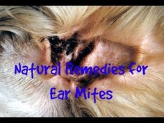 In this video Dr Jones shows you the top 3 remedies to naturally treat your cat or dog's ear mites at home. Share this . Cat Ear Mites, Mites On Dogs, Dog Ear Mites Treatment, Flea Treatment, Clean Cat Ears, Cleaning Dogs Ears, Sante Plus, Dogs Ears Infection, Cat Health