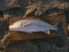 Surf Fishing Tips and Techniques- Fish by fish breakdown ...