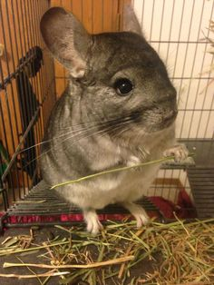 Chinchillas are cool animals I had one of this name little bit