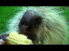 Adorably selfish porcupine doesn't want to share his corn on the cob.