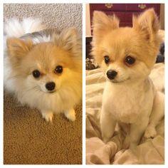"@Heidi Haugen Moon's photo: ""Somebody got a haircut. #pom #pomeranian #dogsofinstagram #pomlife #cute #cutedog"""