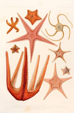 f.34 (Échinodermes) - Résultats des campagnes scientifiques accomplies sur son yacht - Biodiversity Heritage Library