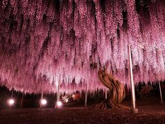 144 years-old Wisteria