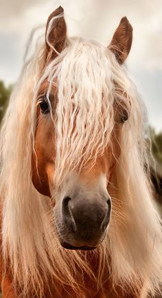 Palomino colored horse with the most beautiful mane.
