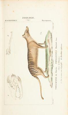 Thylacine (tasmanian tiger), Atlas de Zoologie: Ou collection de 100 planches, Paul Gervais, 1844.