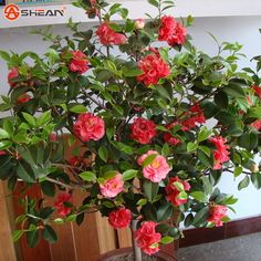 Camellia Seeds Potted Flowers Seeds,Balcony Potted Japanese Camellia Bonsai Tree seeds 1 particle / package